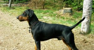 800px-german_pinscher.jpg