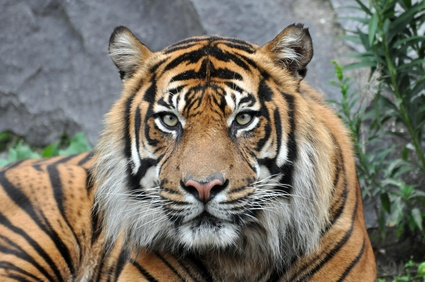 tigre2012.png