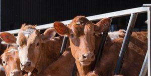 mucche.jpg