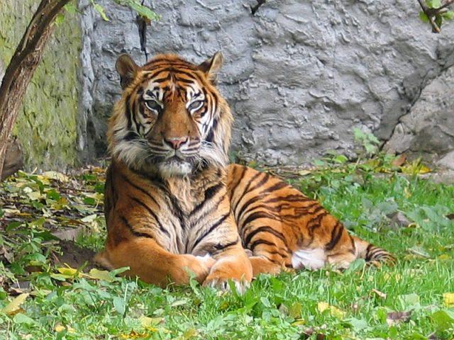 tigresumatra.jpg