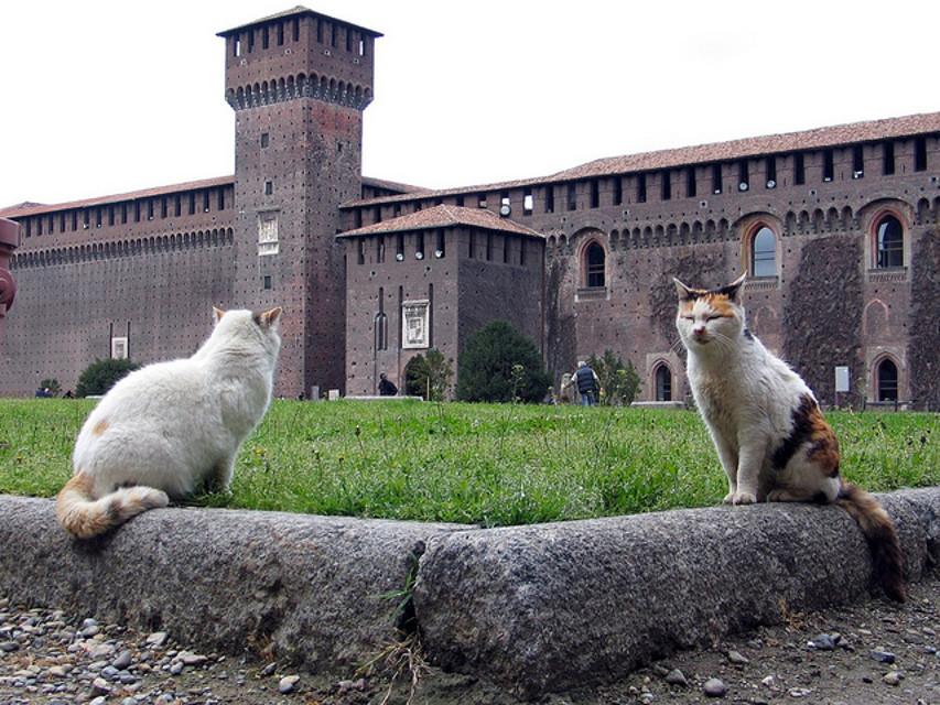 Risultati immagini per gatti castello sforzesco
