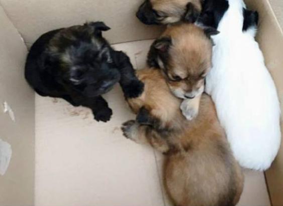 I carabinieri hanno trovato cinque cuccioli di