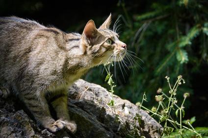 Belluno Fotografato Un Raro Gatto Selvatico Nelcuoreorg
